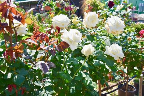 Roses everywhere!!