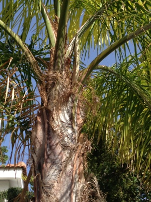 Pod Growing on the Royal Palm