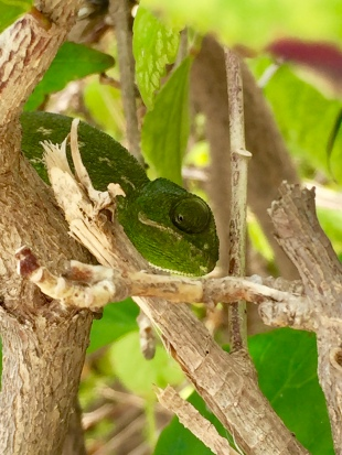 Chameleon in the garden