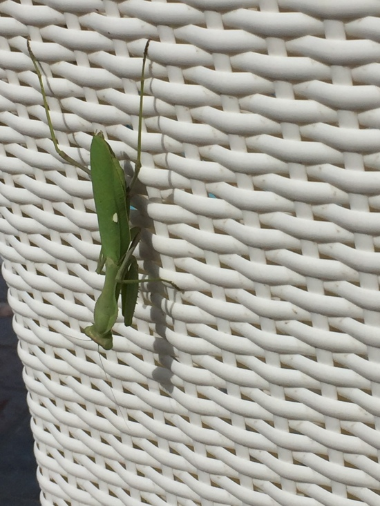 Big Praying Mantis on the chair
